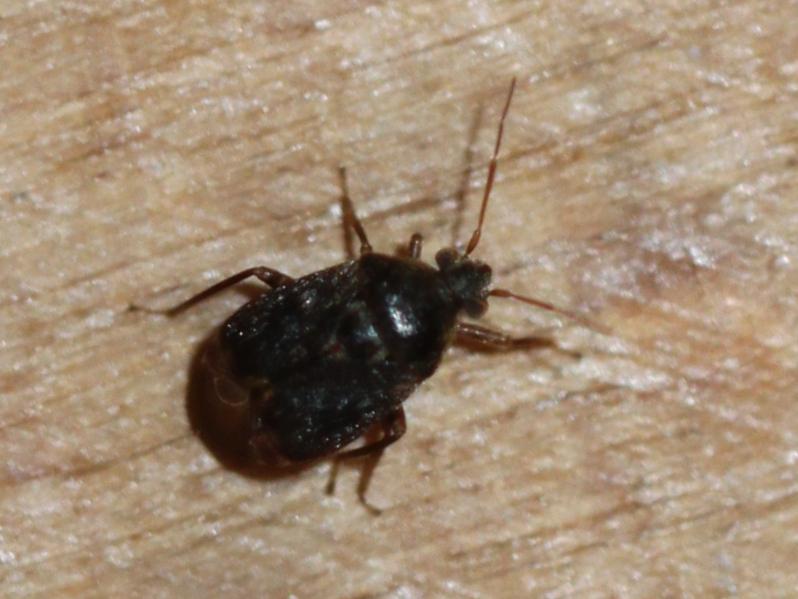[Charagochilus gyllenhallii] Miridae noir des gaillets Img_5417