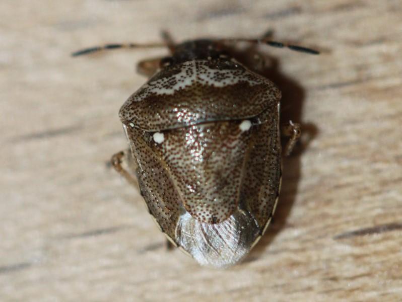 [Eysarcoris ventralis] Eysarcoris ventralis ? Img_5421