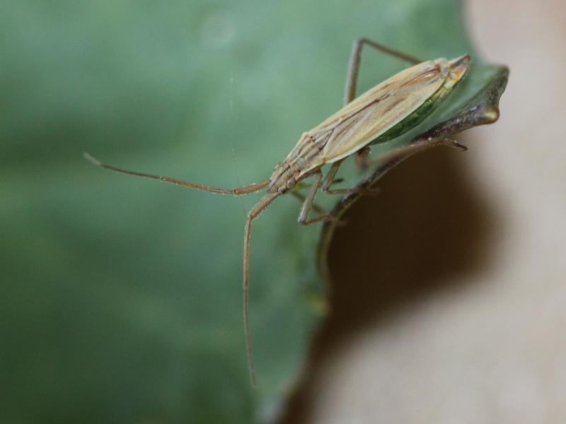 [Nabis sp.] Nabidae ou Berytidae ? Img_5515