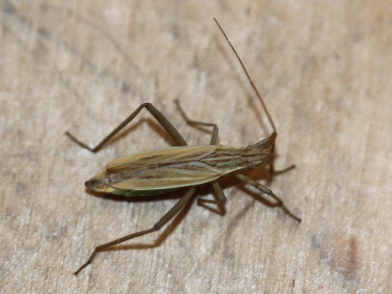 [Nabis sp.] Nabidae ou Berytidae ? Img_5516