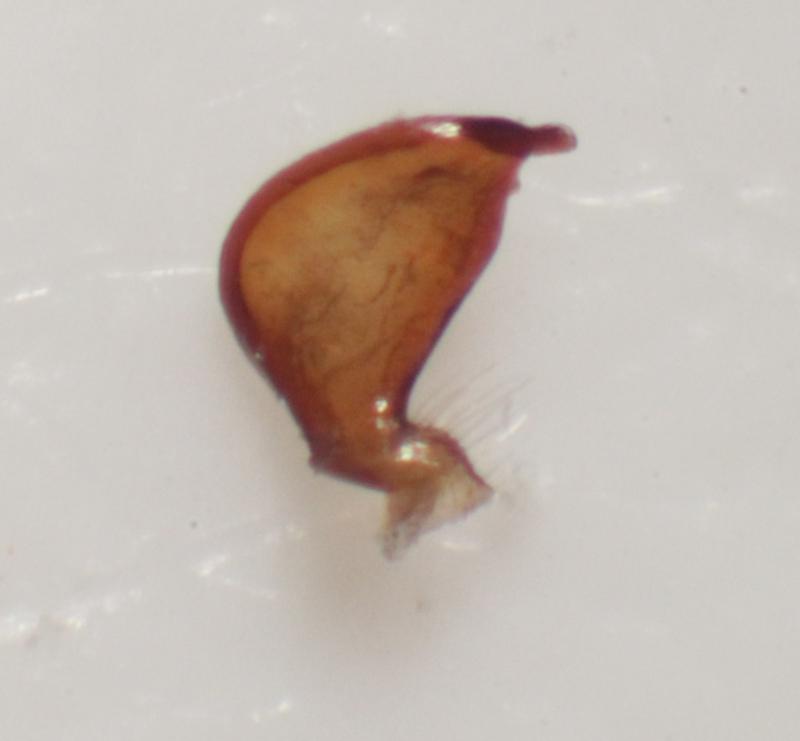 [Nabis pseudoferus] Nabidae avec paramère Img_5612