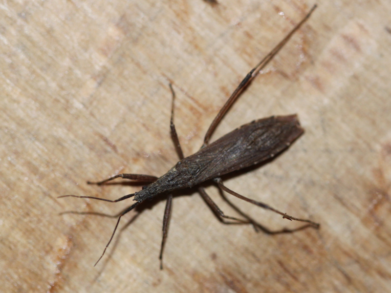 [Pygolampis bidentata] Reduviidae sombre de prairie humide Img_5818