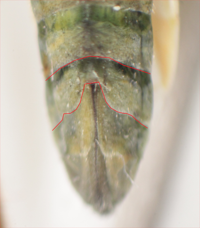 [Notostira sp] Miridae : Stenodema ou Notostira ? Img_5915