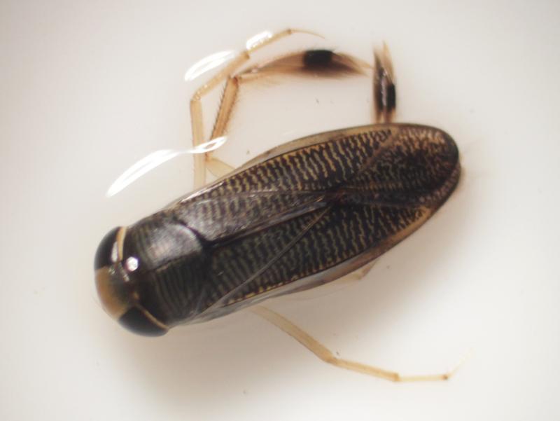[Callicorixa praeusta] Corixidae à tache noire Img_6015