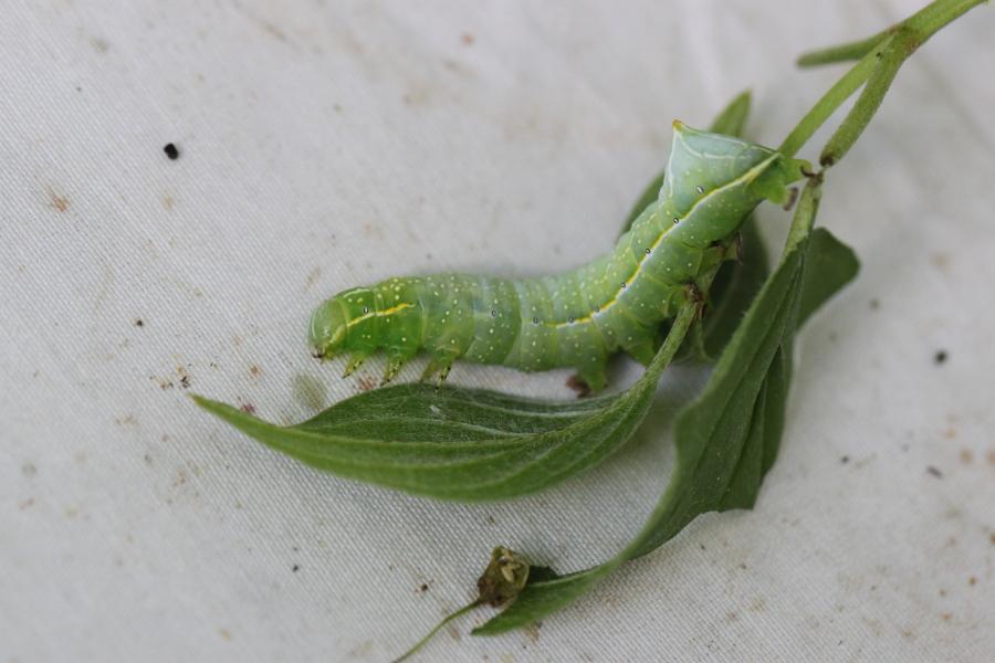 [Amphipyra pyramidea] Chenille verte et arbuste à identifier Img_6217