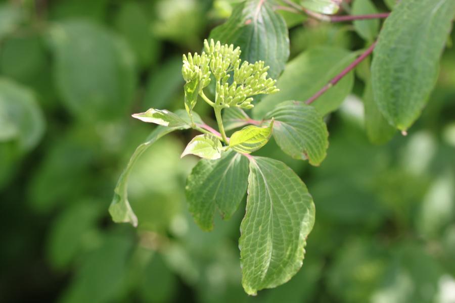 [Phigalia pilosaria] Chenille grise et arbuste à identifier Img_6313