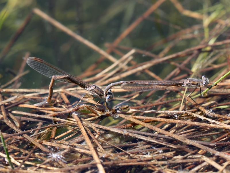Enquête : Les yeux bleus de la Brunette hivernale (Sympecma fusca) Img_6511