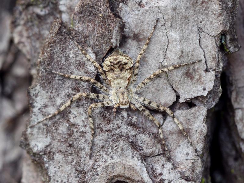 L'araignée du pin [Philodromus margaritatus] Img_6810