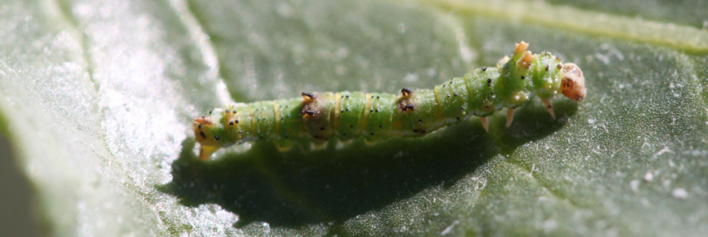 [Agdistis tamaricis (Pterophoridae)] Chenille pédonculée ?  Img_7115