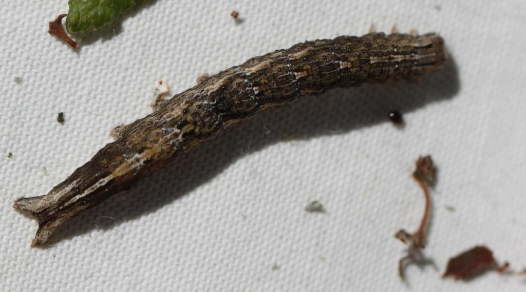 [Xylocampa areola] Chenille sur Prunellier (avec beaucoup de chèvrefeuille) ? Img_7813