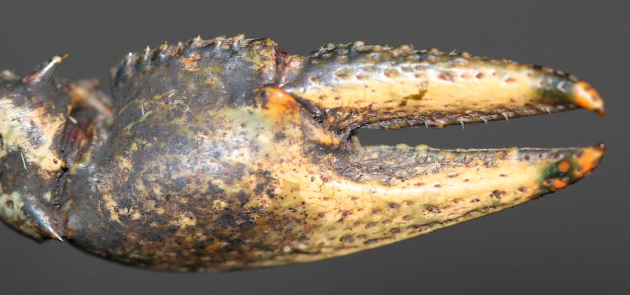 Ecrevisse américaine (Orconectes limosus) Img_8412