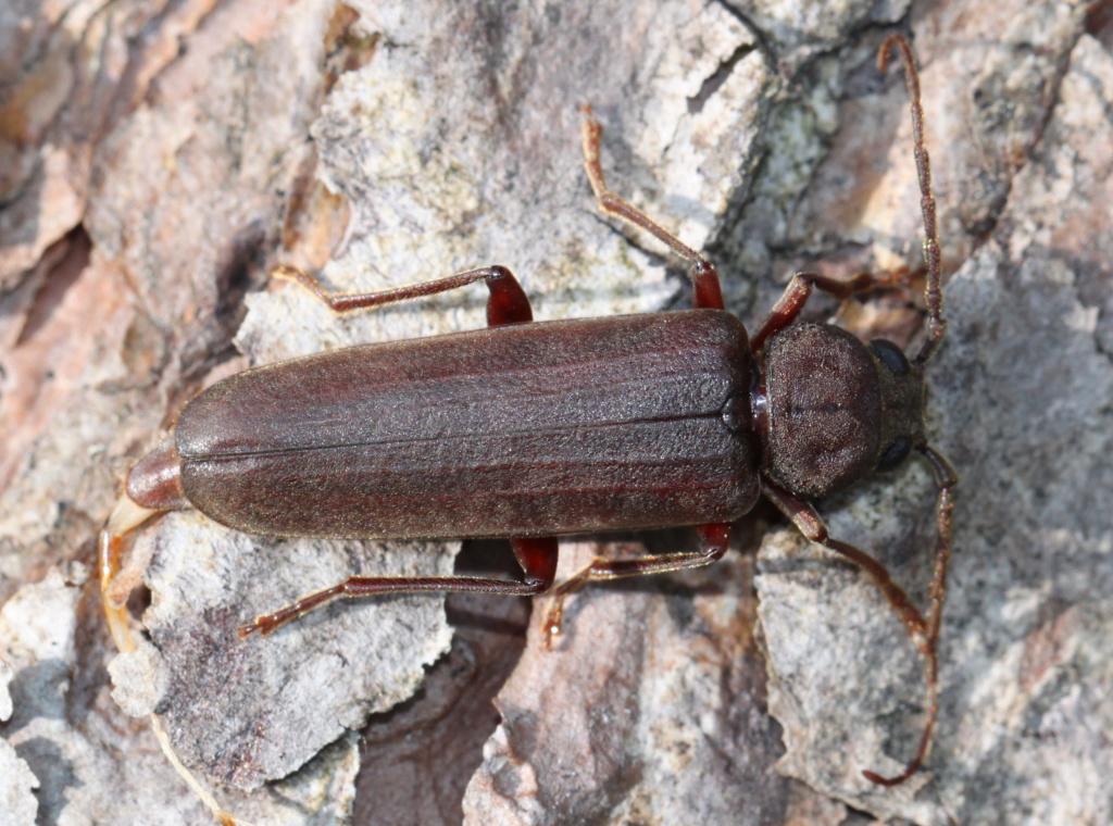 [Arhopalus sp.] Longicorne Arhopalus ? Img_8417
