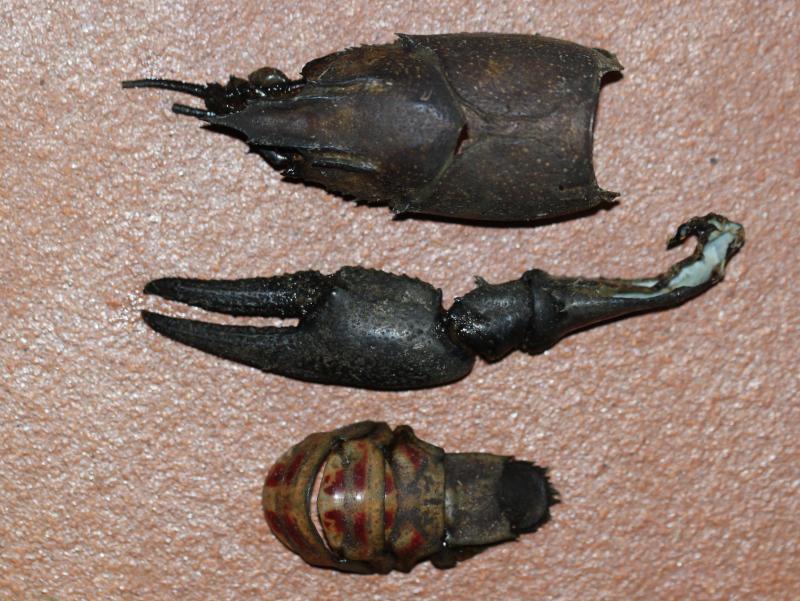 Ecrevisse américaine (Orconectes limosus) Img_8710