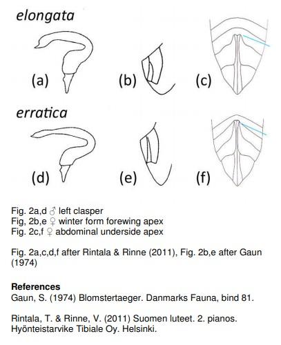 [Notostira sp] Miridae : Stenodema ou Notostira ? Notost10