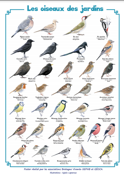 Bientôt le comptage des oiseaux de jardin (WE 30 et 31 janvier) ! Oiseau10