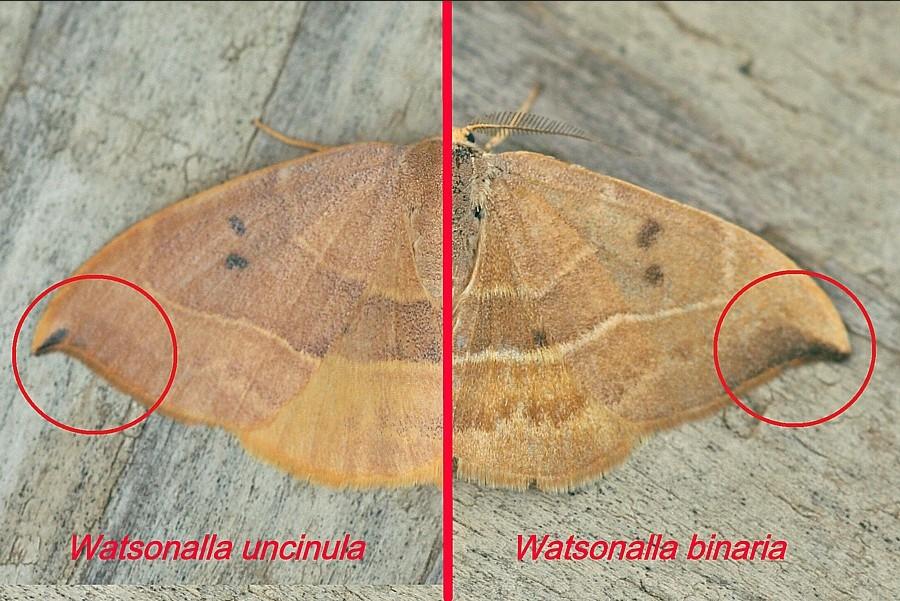 Identification lépidoptère : Watsonella binaria ? Watson10