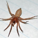 I need help identifying this spider from the mojave desert Unknow10