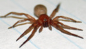 I need help identifying this spider from the mojave desert Unknow11