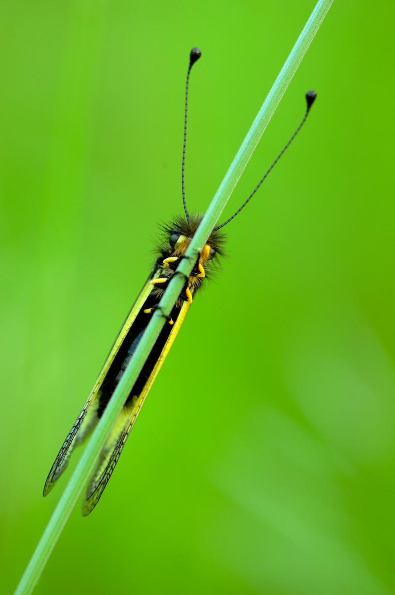 Libelloides coccajus Libell10