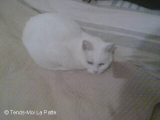 NOUTH femelle blanche très très câline de 10 ans 10111113
