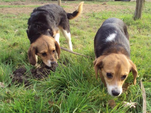 FOREVER, croisée beagle femelle, 8 mois (35) Folie_11