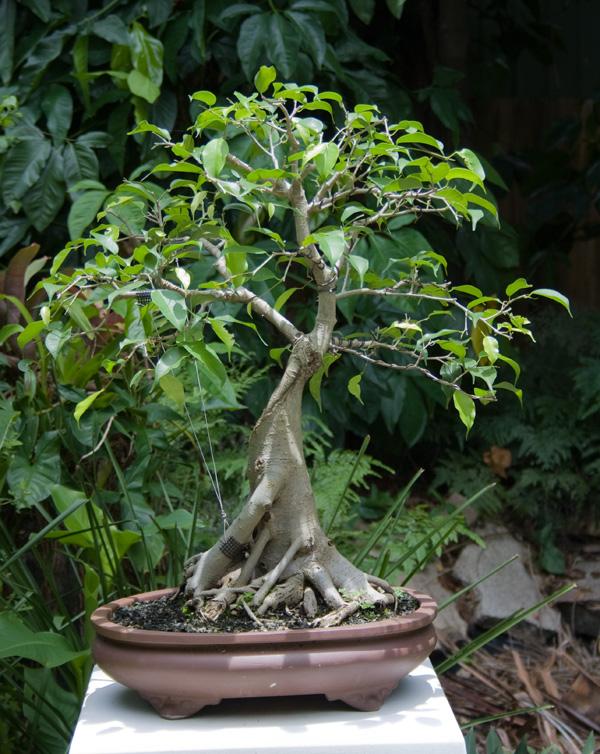 Ficus benjamina, an old friend Img_4213