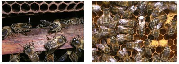 quelle race d'abeille? Abeill11