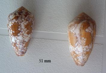 Conus (Darioconus) behelokensis   Lauer, 1989 Textil10
