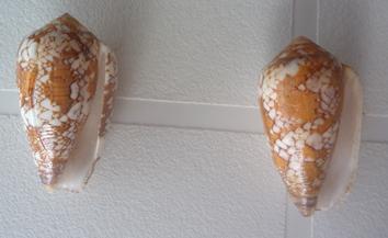 Conus (Darioconus) behelokensis   Lauer, 1989 Textil11