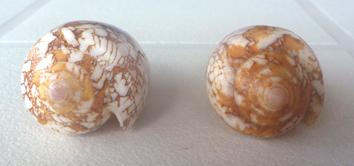 Conus (Darioconus) behelokensis   Lauer, 1989 Textil12