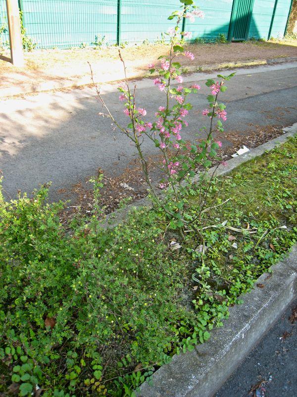 Groseiller a fleurs (Ribes sanguineum) - Page 2 Ribes_10