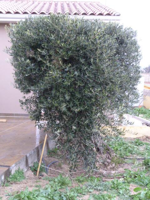 Le jardin  en hiver P1000626