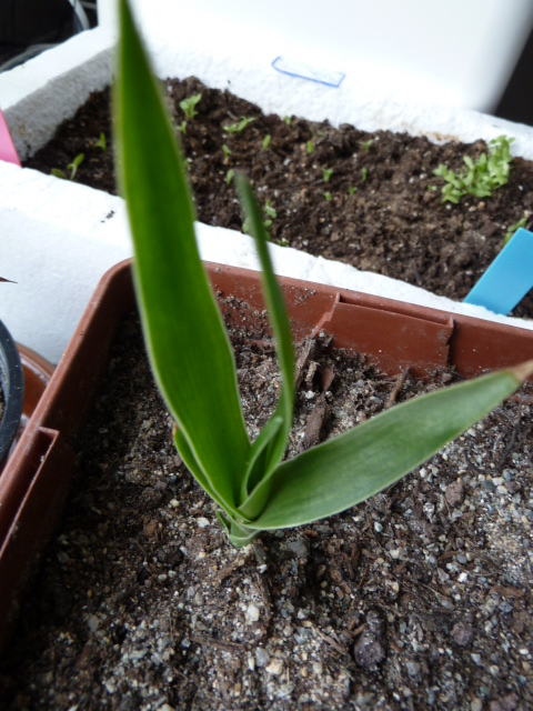 1er semis de cactées et de Pachypodium P1000638