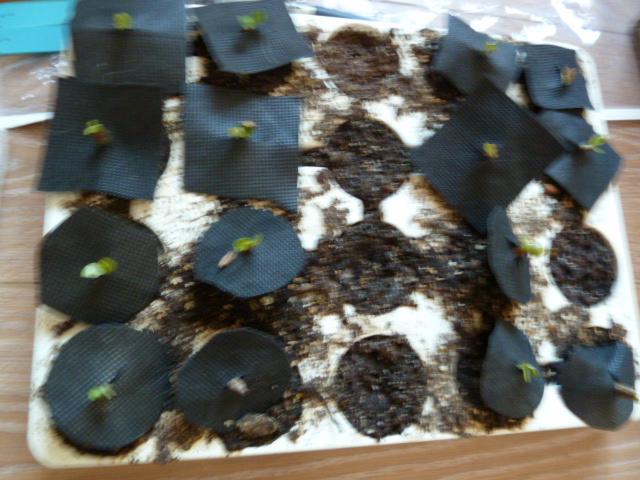 Moisissure sur semis P1000711