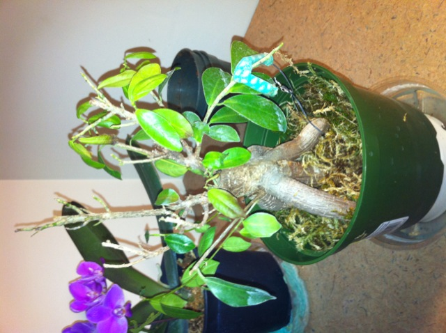Help my ficus ginseng Secure14