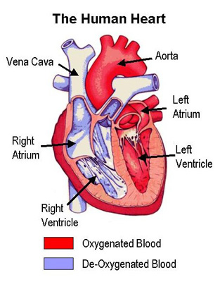 Heart muscle is not just a blood pumping 1-huma10