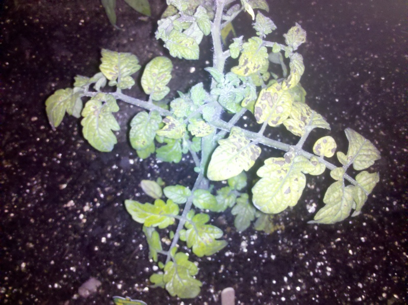 Tomato plant ?'s  Img_2010