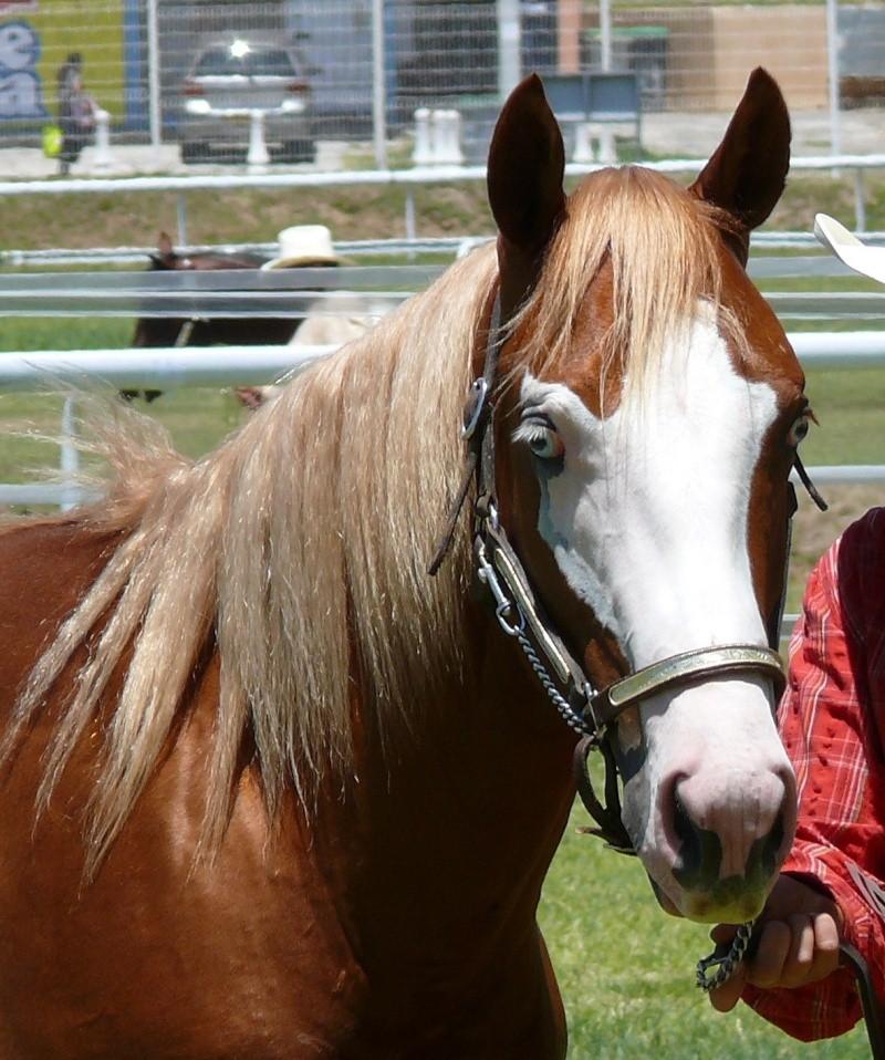 Quelques Paint Horse de Nouvelle Calédonie P1060213
