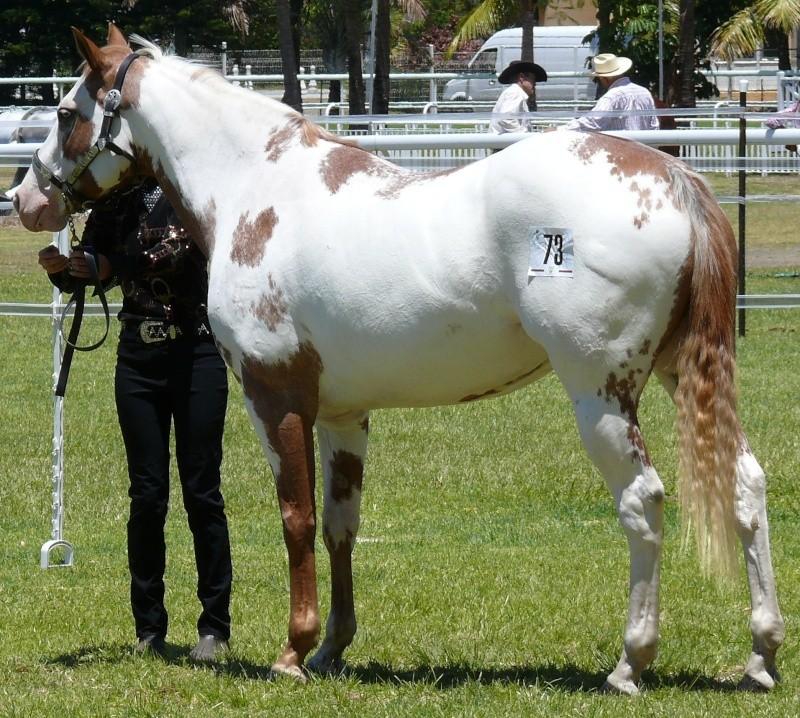Quelques Paint Horse de Nouvelle Calédonie P1060214