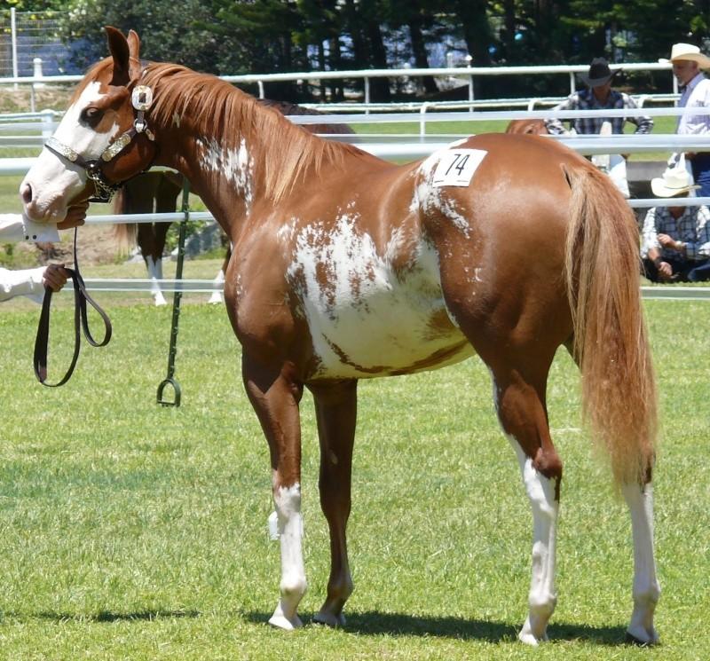 Quelques Paint Horse de Nouvelle Calédonie P1060215