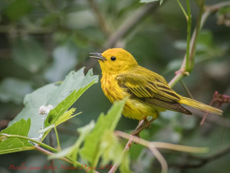 Paruline jaune Img_0710