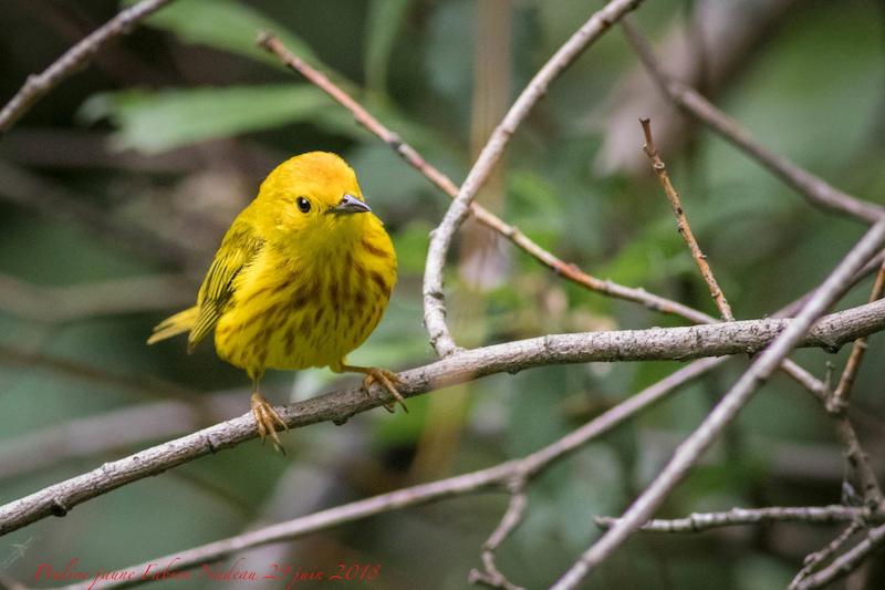 Paruline jaune Img_0711