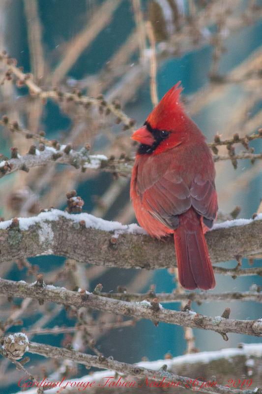 Cardinal rouge Img_5810