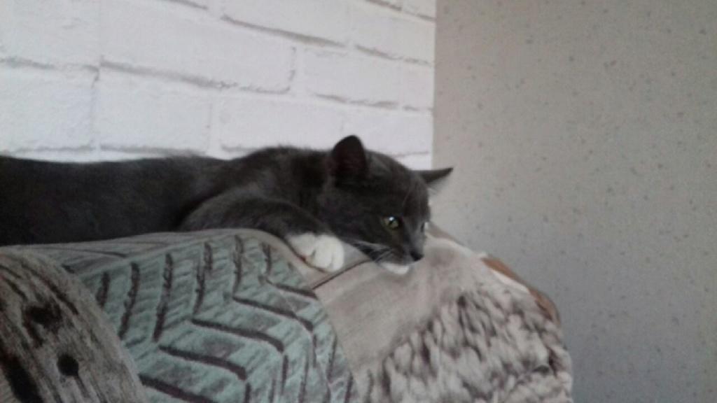 ORINE, chatonne européenne grise&blanche, née le 15/05/18 20180910