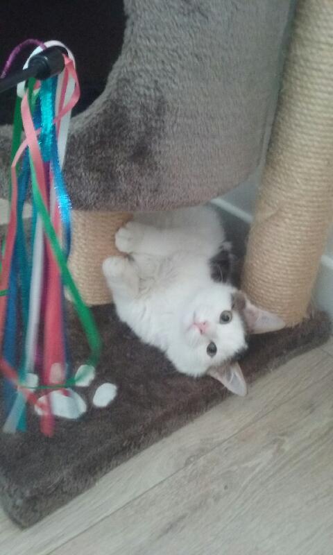 OXLAY, chaton européen tigré gris et blanc, poils mi-longs, né le 01/06/18 20181110