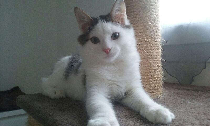 OXLAY, chaton européen tigré gris et blanc, poils mi-longs, né le 01/06/18 20181111
