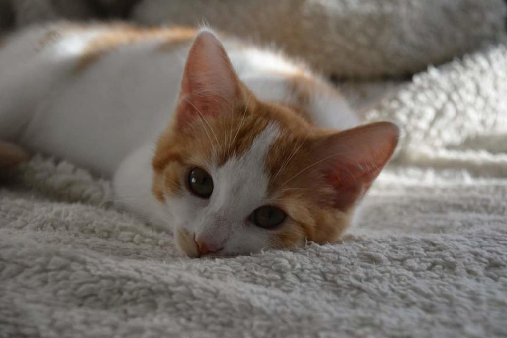 Orpheebis,chatonne européenne blanche et rousse née le 15/03/18 Image011