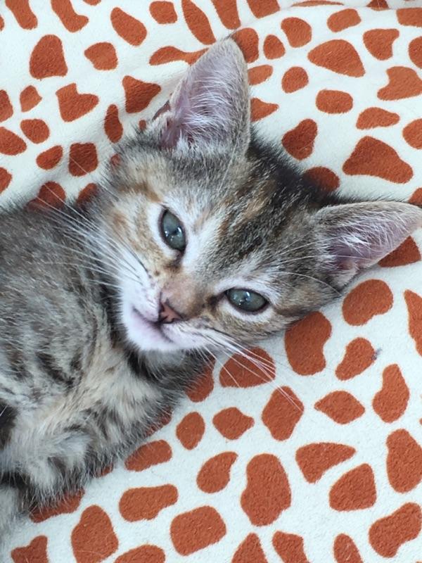 ORIA, chatonne européenne marron tabby, née le 20/05/18 Img_0110
