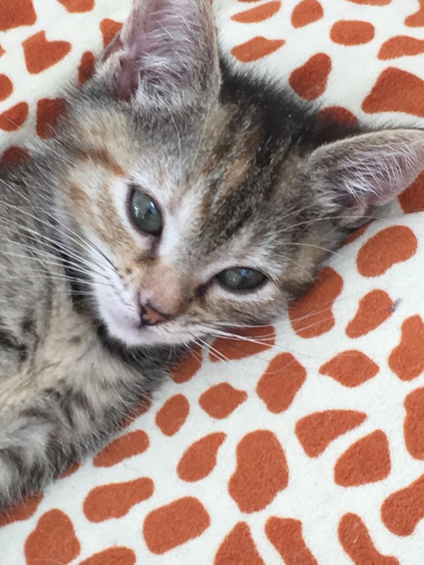 ORIA, chatonne européenne marron tabby, née le 20/05/18 Img_0111