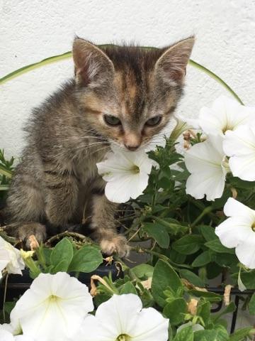 ORIA, chatonne européenne marron tabby, née le 20/05/18 Img_0210